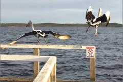 A_AUS_VOG_0002_australische pelikaan_p elecanus conspicillatus