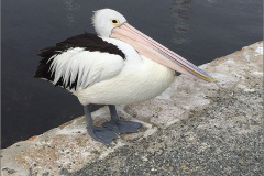 A_AUS_VOG_0003_australische pelikaan_pelecanus conspicillatus