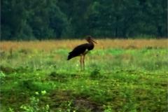 CAA_VOG_0003_zwarte ooievaar_ciconia nigra