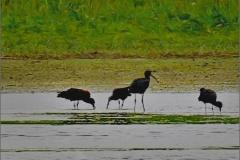 CBB_VOG_0001_zwarte ibis_plegadis falcinellus