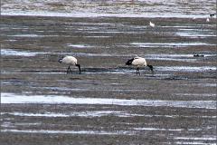 CB_VOG_0001_ heilige ibis_threskiornis aethiopicus