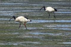 CB_VOG_0002_ heilige ibis_threskiornis aethiopicus