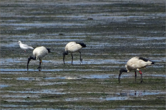 CB_VOG_0003_ heilige ibis_threskiornis aethiopicus