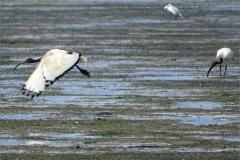 CB_VOG_0004_ heilige ibis_threskiornis aethiopicus