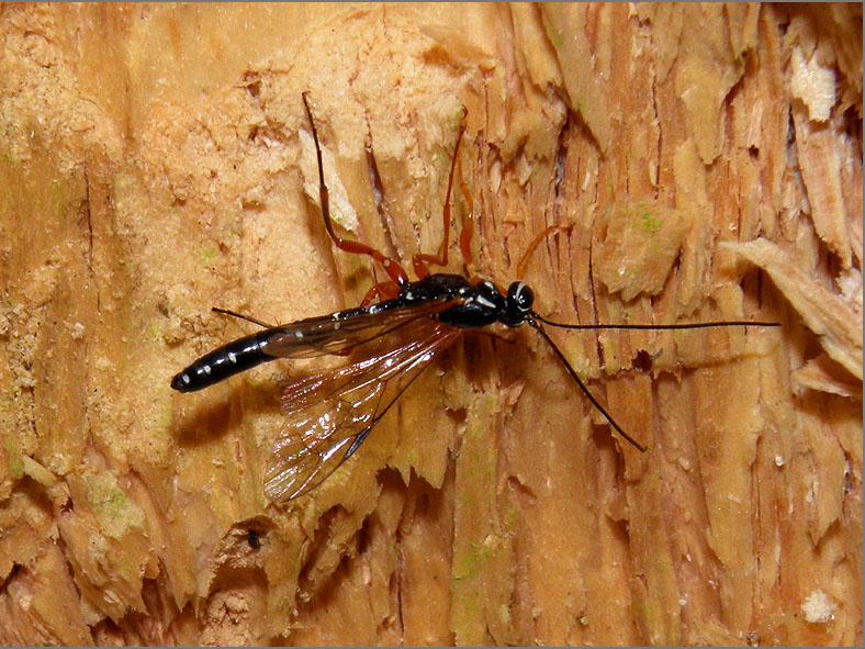WSP_0032_sluipwesp_ichneumonidae indet