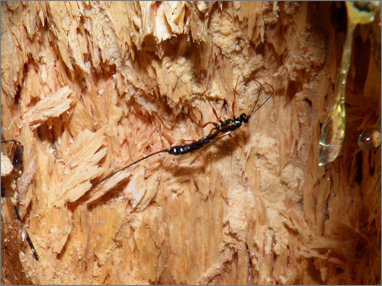 WSP_0033_sluipwesp_ichneumonidae indet