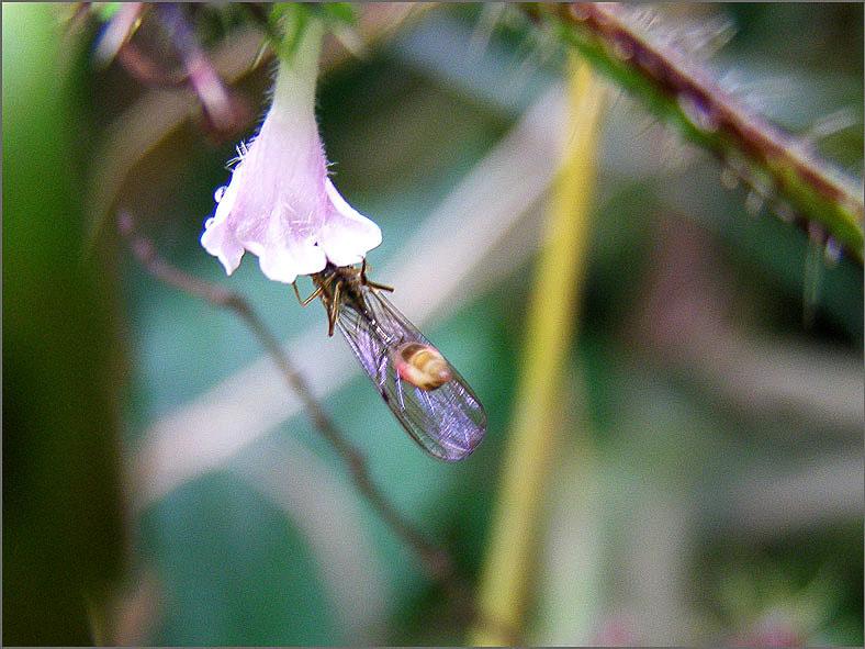 WSP_0069_sluipwesp_ichneumonidae indet