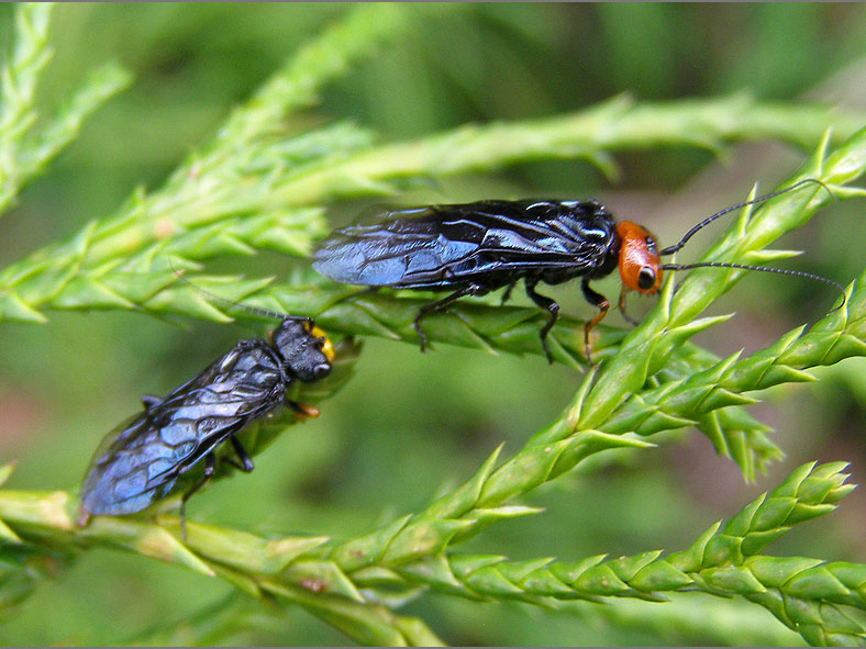 WSP_0078_staalblauwe spinselbladwesp_acantholyda erythrocephala