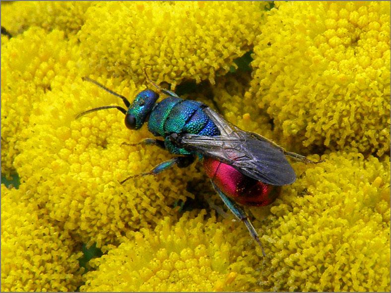 WSP_0080_goudwesp_chrysididae sp