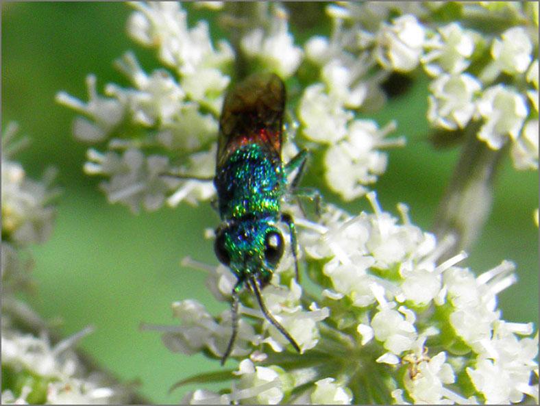 WSP_0084_goudwesp_chrysididae sp