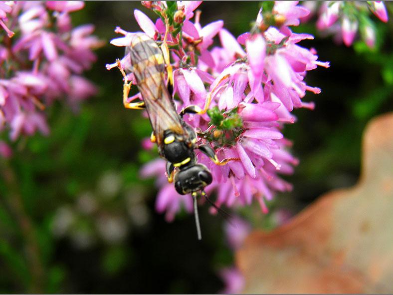 WSP_0088_gewone vliegendoder_mellinus arvensis