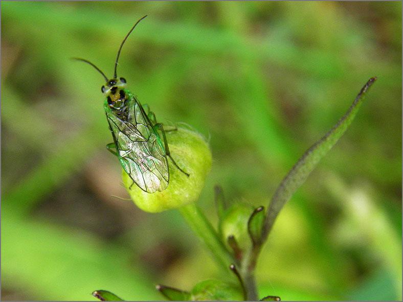 WSP_0096_bladwesp_rhogogaster viridis s.l.