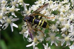 WSP_0012_tenthredo vespa