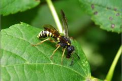WSP_0014_tenthredo vespa