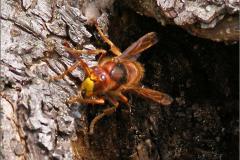 WSP_0201_ hoornaar_vespa crabro