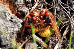 WSP_0209_ hoornaar_vespa crabro