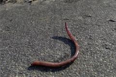 WORM_0002_ regenworm_lumbricidae sp