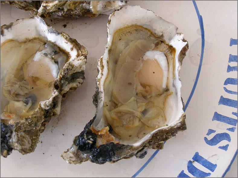 ZEE_0115_geopende oester_ostrea edulis
