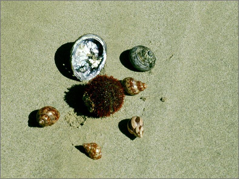 ZEE_0195_Australië_zee egel_euchinoidea sp