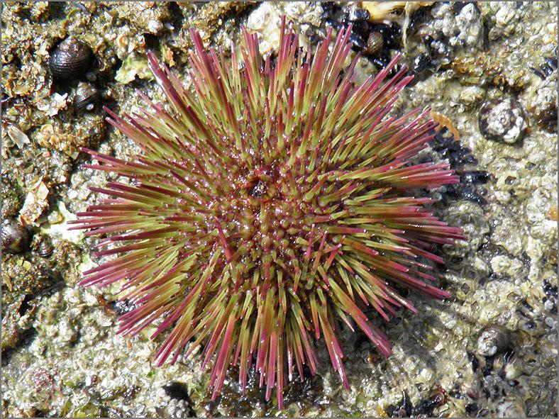 ZEE_0197_zee egel_euchinoidea sp