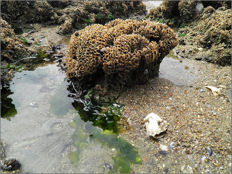 ZEE_0283_secreetbuizen_honingraatworm_sabellaria alveolata