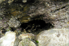 ZEE_0400_marmeren rotskrab_brachyara_pachygrapsus marmoratus