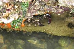 ZEE_0402_marmeren rotskrab_brachyara_pachygrapsus marmoratus