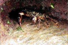 ZEE_0406_marmeren rotskrab_brachyara_pachygrapsus marmoratus