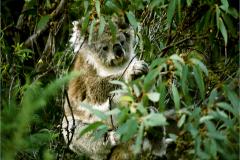 AA_ZGD_0001_Australië_ koala_phascolarctos cinereus
