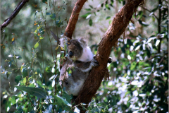 AA_ZGD_0002__Australië_koala_phascolarctos cinereus
