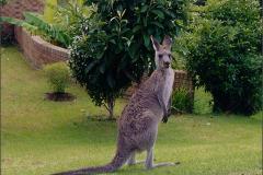 AB_ZGD_0001_Australië_ kangaroe_macropodidae spec