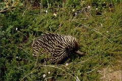 AC_ZGD_0001_Australië_ echidnae_tachyglossidae spec